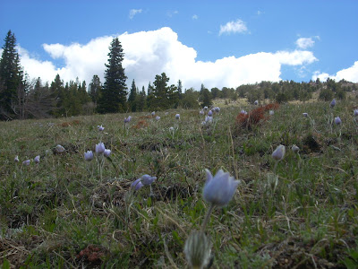 Pasque Flowers on Kingston Peak