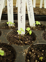Collards and dwarf Siberian kale seedlings, 7 days after sowing
