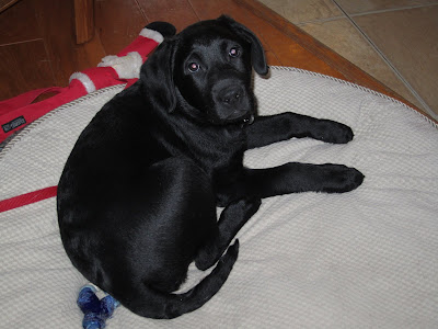 Romero, a 3 month old black lab puppy lies in the middle of a big round beige dog bed on a wood floor. He is lying on his red nylon leash and above the bed there is a red stuffed toy Santa Claus with long arms and legs. Romero is curled up into a ball but looking over his back legs towards the camera. He has a slightly guilty look on his face, with his ears pulled just a bit back on his head. His eyes are big and pleading. He looks very puppyish in this picture, and his fur looks incredibly soft.