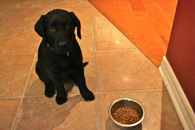 Romero, a 12 week old black lab wearing a blue collar sits on the floor of a kitchen with beige tile floors and burgundy walls. Admittedly, in this picture, he looks just like a black blob with two round eyes in the top. A few inches in front of him is a metal bowl full of small round kibbles. He is waiting patiently to be released to go eat it.