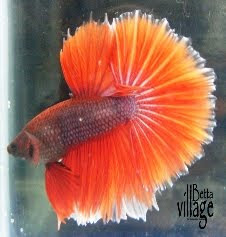 History and background of betta fish betta village for Betta fish natural environment