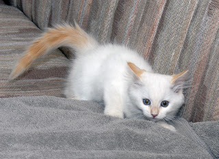 Flame Point Kitten Blanca as a playful kitten