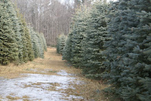 Cut your own Christmas Tree at Mancuso Farms 845 647-5548