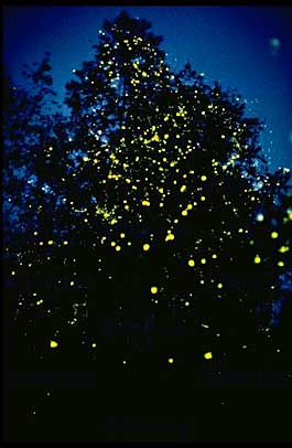 an introduction to the nature of fireflies Fireflies are also known as lightning bugs or glowworms depending on regeon  they are popular  naturalist led tours at nature centers: none that i know of.