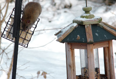 Rat at the Suet