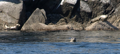 seals in Puget Sound