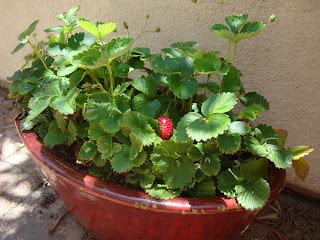 Close up of strawberry plant