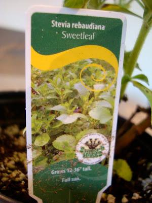 Tag in plant saying Sweetleaf Stevia