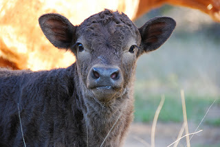 Black Calf Looking At Me