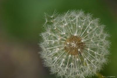 Păpădia (Taraxacum officinale)