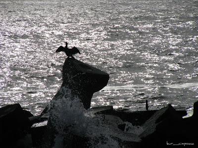 cormoran-cormorant