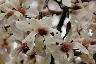 floare frumoasa Magnolia