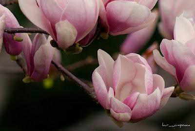 copac magnolia