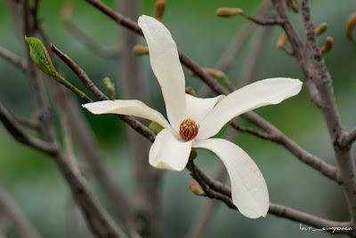magnolia-alba-white-Magnolia
