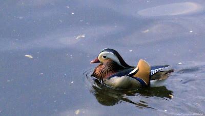 wood duck-rata mandarin