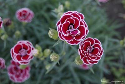 Garofita de gradina Dianthus plumarius