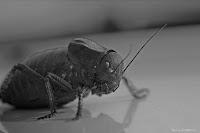 alien in Dobrogea-bradyporus-dasypus