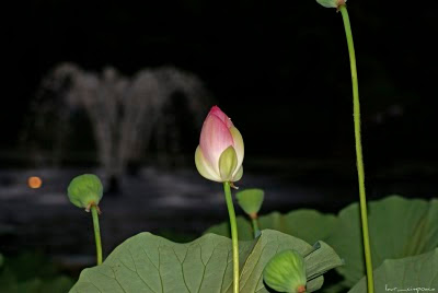 lotus-floaredelotus-lotusflower-Lotosblume-λωτός λουλούδι-fiore di loto-flor de lótus-flor de loto-lótuszvirág