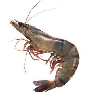 """""""panduan cara budidaya tambak udang lobster galah vaname ton poc nasa hormonik viterna nasa natural nusantara distributor resmi"""""""