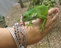 Iguana op m'n hand