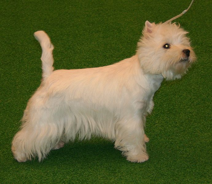 West highland white terrier puppies top dog directory