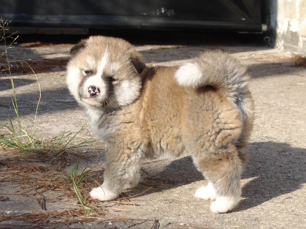 Akita (American) Best Dog