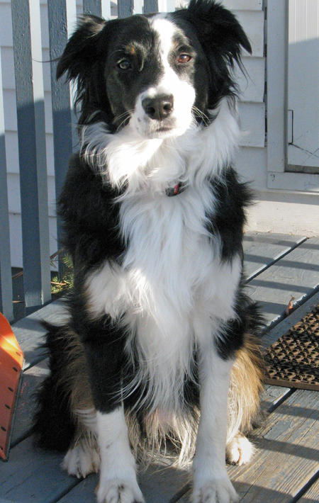 Australian shepherd collie mixed top dog directory