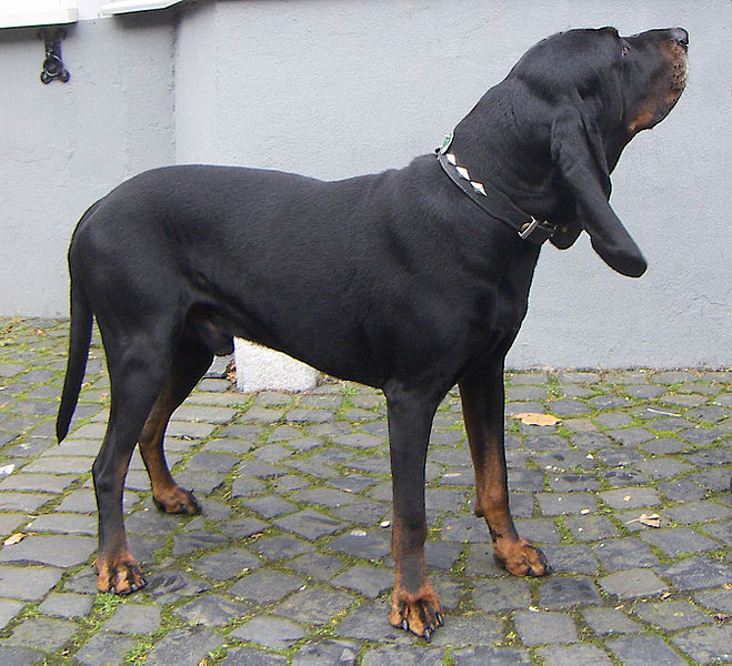 American Black and Tan Coonhound | Top Dog Directory