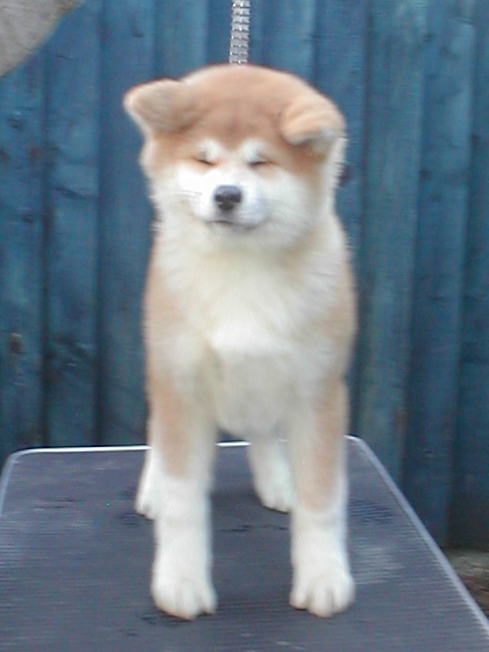 moonlight akitas akitas akita buy a good home description gentle