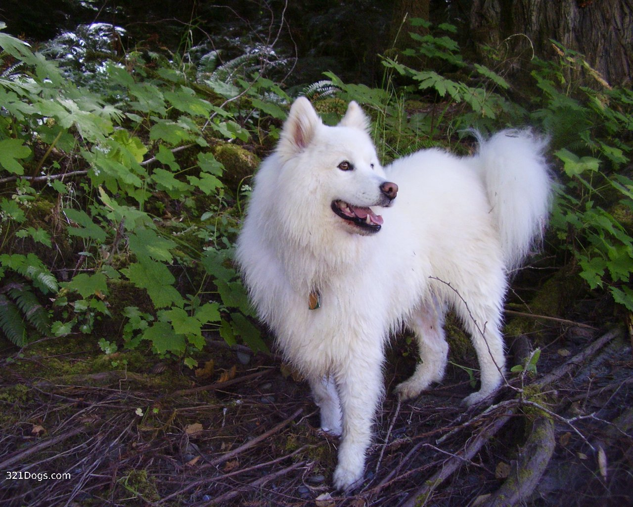 Dog Breeds That Look Like Wolves Wallpaper Download