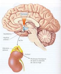 Eixo Hipotálamo - Hipófise - Adrenal