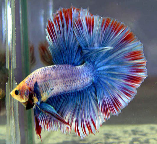 Betta fish care for Big betta fish