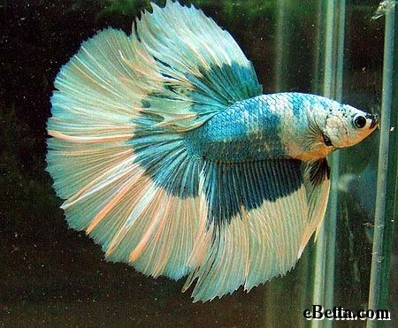 how to train a betta fish to follow your finger
