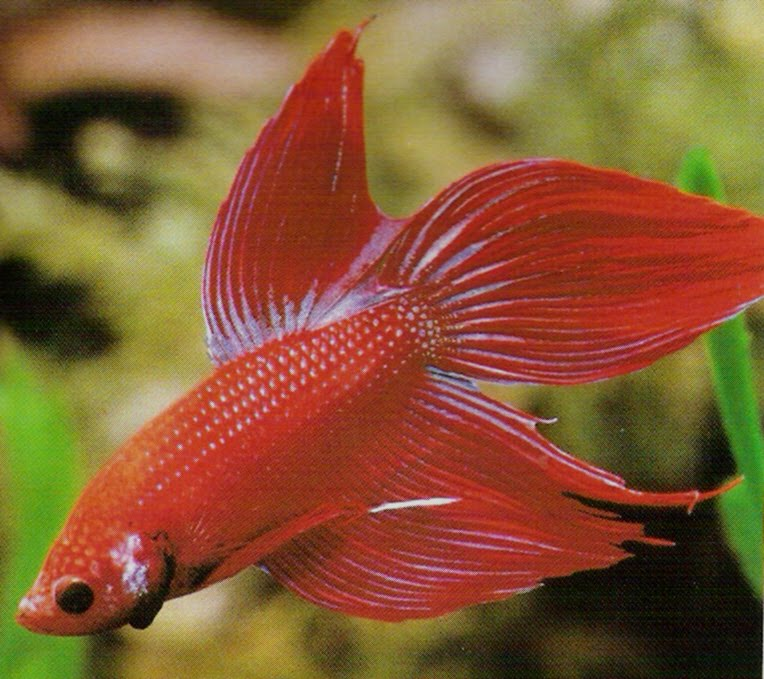 Betta fish care betta fish pictures for How much is a beta fish