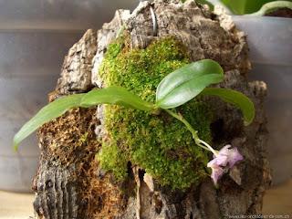 Taffin techniques de plantation en sphaigne murs vegetaux - Orchidee entretien apres floraison ...