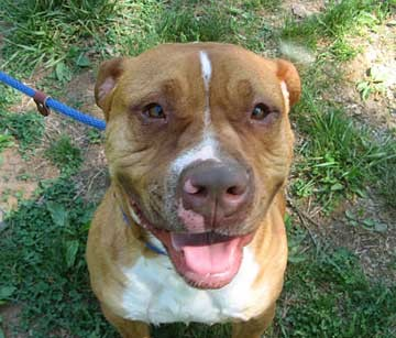 Pitbull shar pei mix group picture image by tag keywordpictures dog