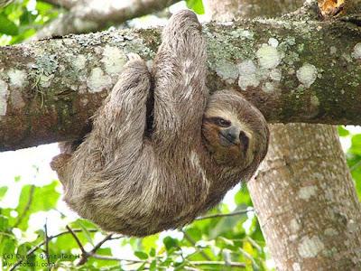 sloth02 7 Binatang paling lambat di dunia