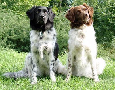 holandski prepelicar Stabyhoun+FRISIAN+POINTING+DOG3