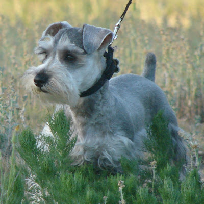 mini_schnauzer63