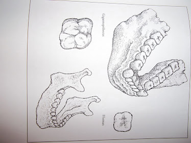 Human jaw and gigantopithecus jaw