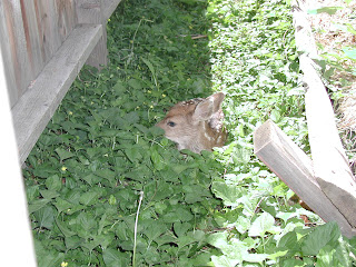 Newborn fawn hidden by doe in ditch lateral