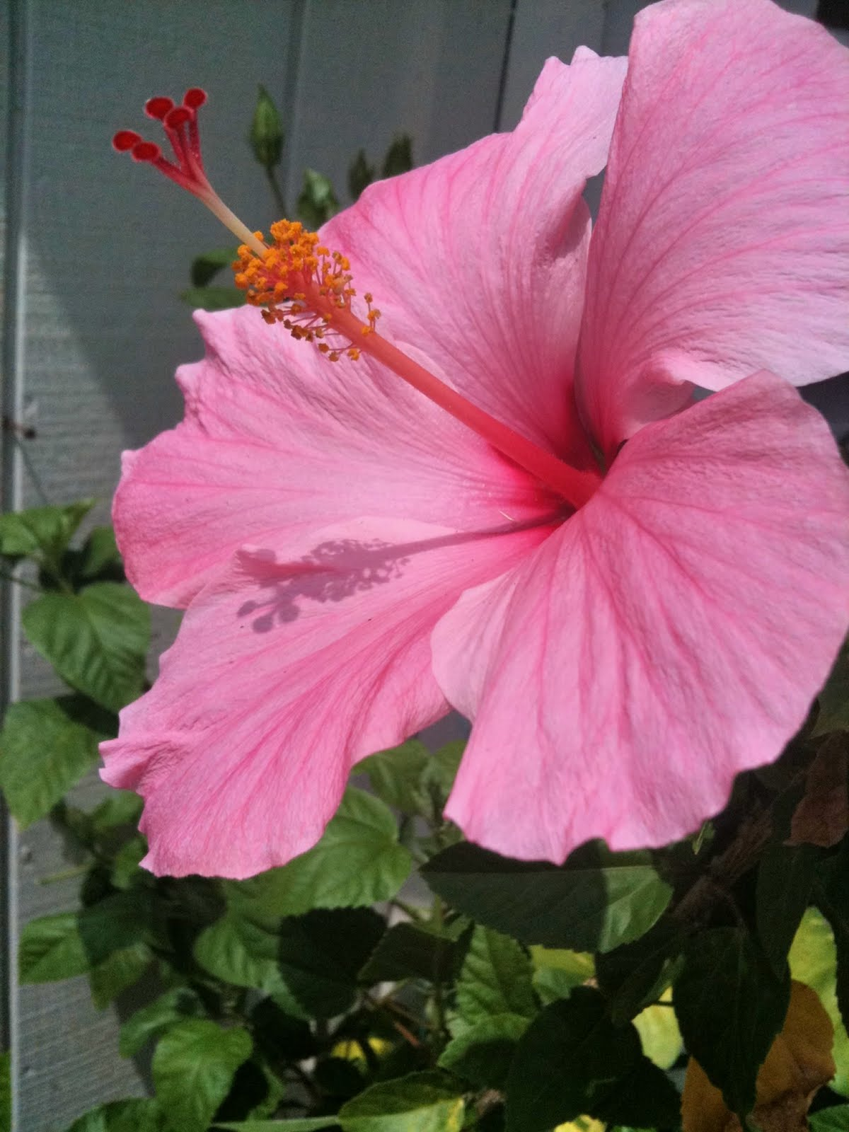 http://2.bp.blogspot.com/_LaakhfpX99w/TD5uA-WevII/AAAAAAAABeA/UKE_TJiWLj4/s1600/Pink%2BHibiscus.jpg