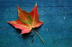 my photo, maple leaf