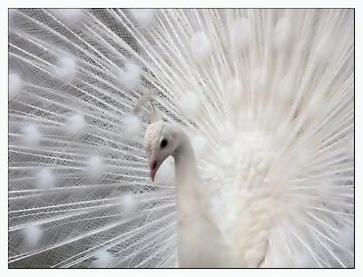 Albino Peacock For Sale. Amazing Amusing Animals to
