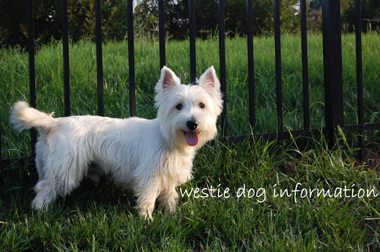 westie dog information: Symptoms of Canine Cushing's Syndrome