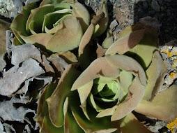 Aeonium longithyrsum