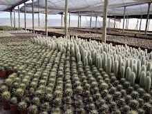 Cactus Ferrari
