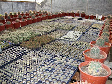 Cactus Bencor