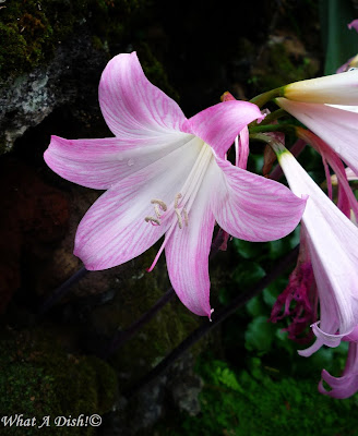 what a dish pink fall lilies, Beautiful flower