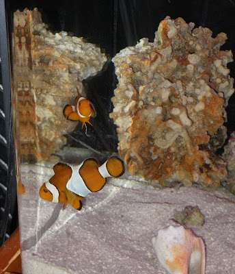 Pair of Clownfish